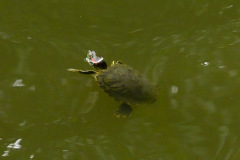 YuGarden_Turtle
